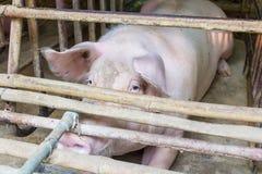 brudzi świnie Zdjęcia Stock