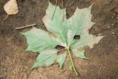Brudzi zielonego liść klonowego na mokrej piaskowatej ziemi Obrazy Royalty Free