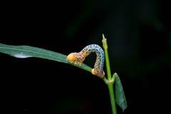 Brue e verme giallo Fotografia Stock