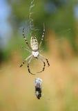 Bruennichi Argiope, αράχνη σφηκών Στοκ Φωτογραφία