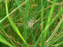 Bruennichi do Argiope Imagem de Stock Royalty Free