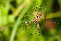 Bruennichi do argiope da aranha da vespa inseto com listras amarelas, teste padrão da esfera-Web da Web fundo da grama verde, vis Foto de Stock Royalty Free