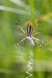 Bruennichi för Argiope för Wasp orb-rengöringsduk spindel Kryp med gula band och stabilimentum makrosikt, mjuk fokus fotografering för bildbyråer