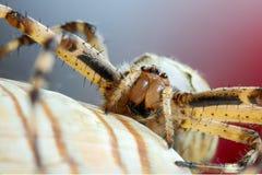 Bruennichi f?r Wasp spindelargiope royaltyfri bild