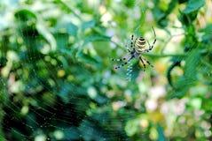 Bruennichi van Argiope, spinachtige riep ook tijgerspi royalty-vrije stock foto
