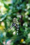 Bruennichi van Argiope, spinachtige riep ook tijgerspi royalty-vrije stock fotografie