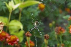 Bruennichi van spinargiope Stock Afbeeldingen