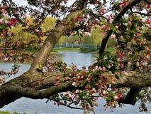 Brug door Crabapple Blossoms wordt ontworpen die stock afbeelding