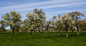 Bruges blooming trees. View of Trees near bruges belgium with blooms Royalty Free Stock Photos