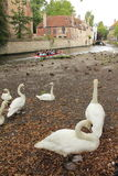 Bruges swans Belgium Royalty Free Stock Photography