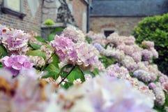 Brugge hortensi kwiaty Zdjęcie Stock
