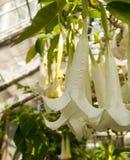 Brugmansia,在白色的喇叭花 库存照片