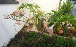 Brugmansia,天使` s喇叭 库存照片
