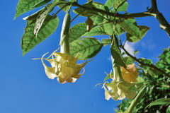 Brugmansia arborea angel`s trumpet. Image shows yellow flowers of Brugmansia arborea angel`s trumpet taken against the blue sky view from below and slightly side Royalty Free Stock Photos