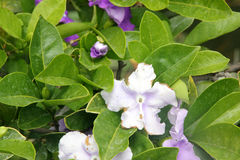 Brunfelsia pauciflora, Yesterday-today-and-tomorrow Royalty Free Stock Photography