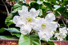 Brugmansia blanc Insignis Photo stock