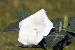 Brugmansia branco (metel do estramônio) Imagem de Stock Royalty Free