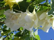 White Datura Blossoms Against a Blue Sky. Brugmansia Candida, also known as Angel`s Trumpet is a toxic plant with beautiful blooms that hang like a pendant Royalty Free Stock Photos