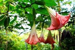 Brugmansia cor-de-rosa Fotografia de Stock
