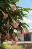 Brugmansia, fiori di dhatura che appendono sull'albero fotografia stock libera da diritti