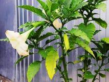 Brugmansia, la tromba dell'angelo, fiore di stramonium di rosa bello fotografia stock