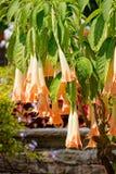 Brugmansia Rafaella anioła trąbki, wyspa Mainau obrazy stock