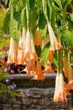 Brugmansia Rafaella anioła trąbki, wyspa Mainau zdjęcie stock