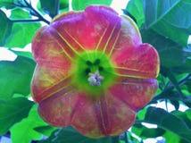 Brugmansia Sanguinea/κεφάλι λουλουδιών σαλπίγγων αγγέλου ` s Στοκ εικόνα με δικαίωμα ελεύθερης χρήσης