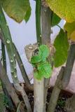 Brugmansia sanguinea solanaceae anioła trompet krwionośna czerwona roślina od północnego Columbia żółtego liścia i drzewnego baga Zdjęcia Stock