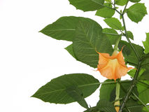 Brugmansia tree. Studio isolated flowering brugmansia tree ... fragrant large bell-shaped flowers ... plenty of copy space Royalty Free Stock Photo