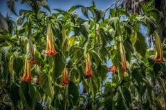 Brugmansiabloemen stock afbeelding