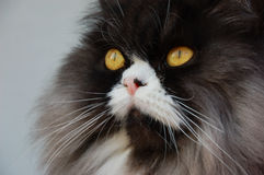 Blue tabbie persian cat. Blu tabbie persian cat on alert Stock Photos