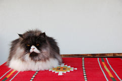 Blu tabbie persian cat. On the carpet Stock Photography