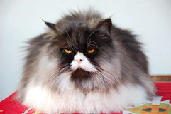 Blue tabbie persian cat. Blu tabbie persian cat on the carpet Stock Photography