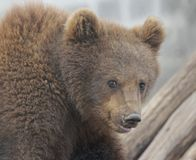 Bruin. Small brown bear looking into the camera lens Stock Photography