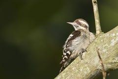 Bruin-afgedekte pygmee woodpeckerbird in Nepal Stock Fotografie