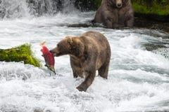 Bruin Alaska draagt met Zalm stock afbeeldingen