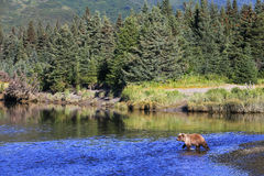 Bruin Alaska draagt Zilveren Salmon Creek Lake Clark National-Park stock foto's