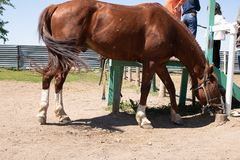 Bruin Aziatisch paard met kinderen, stabiele achtergrond royalty-vrije stock fotografie