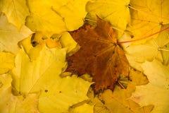 Bruin blad op gele bladeren Royalty-vrije Stock Foto