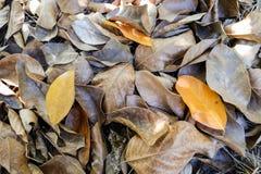 Bruin blad van jackfruitboom Royalty-vrije Stock Fotografie