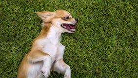 Bruin Chihuahua-puppy die op gras liggen stock foto's