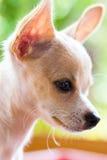 Bruin Chihuahua-puppy Sarawasi Stock Foto