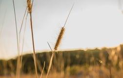 Bruin de bloemgebruik van het poaceaegras voor achtergrond Stock Foto's