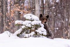 Bruin del oso en el bosque Fotografía de archivo