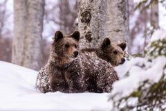 Bruin del oso en el bosque Foto de archivo libre de regalías