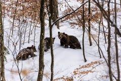 Bruin del oso en el bosque Fotos de archivo libres de regalías