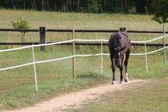 Bruin die Paard op een Weide, Tsjechische Republiek, Europa wordt geschermd Stock Foto