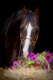 Bruin die paard op zwarte wordt geïsoleerd Stock Fotografie