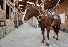 Bruin die paard in stal met zadel en teugels wordt gemonteerd Stock Afbeeldingen